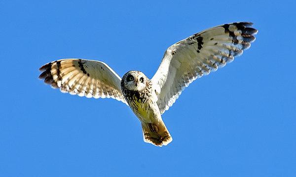 Short Ear owl.