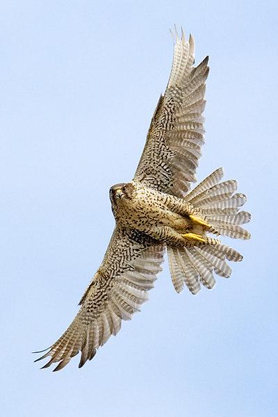 Gyr Falcon.