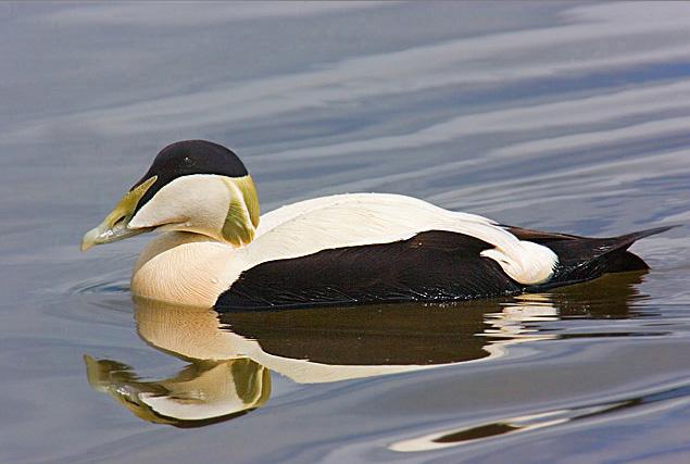 Eider Duck.