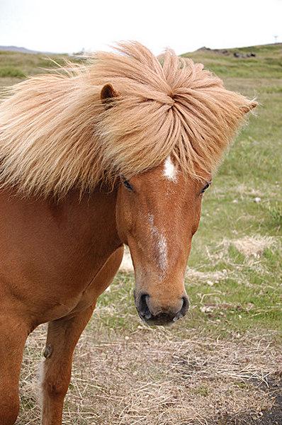 Iceland Horse.