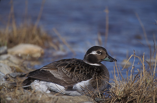 Female Long Tail Duck.