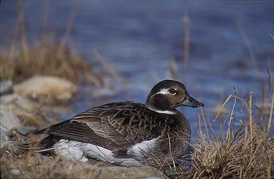 Female Long Tail Duck.