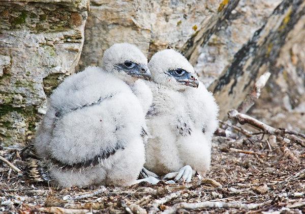 Gyr Falcon Chicks.