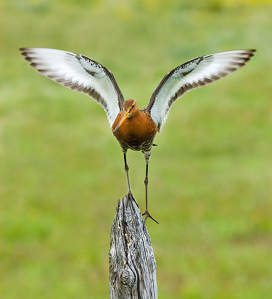 Male Black Tail Godwit. John Chapman.