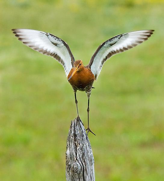 Male Black Tail Godwit. John Chapman.
