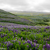 Lupins on the Hills Above Husavik