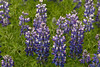 "Nootka Lupine (Lupinus nootkatensis) - locally known as Lúpina -  introduced into Iceland during the 1940s to help limit soil erosion, and today considered as a ""invasive species"" by Iceland's Ministry for the Environment."