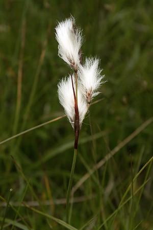 Common Cottonsedge or Klófífa - late June - Eastern region of Iceland.