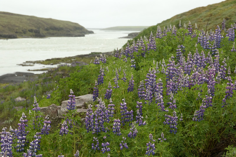 """Nootka Lupine (Lupinus nootkatensis) - known as Lúpina in Iceland -  an introduced species to Iceland in the 1940s to help limit soil erosion, and today considered as a """"invasive species"""" by Iceland's Ministry for the Environment - here viewing along the banks of the Þjórsá or Thjorsá (river), which is Iceland's longest river, meandering about 143 mi. (230 km), just below the Urriðafoss (waterfall) - with its glacial water sourced by the discharges of the Vatnajokull, Tungnafellsjokull and Hofsjokull (ice caps)."""