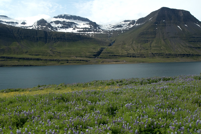 Nootka Lupine (Lupinus nootkatensis), or Lúpina in Iceland -  across the Reyðarfjörður (fjord) - to the Hruta (river) and cascading falls, flowing between the Hádegrisfjall (mountain) and lower slope of the Kamafjall (mountain) - with above amongst the snow bank to the Hallberutindur (peak), rising to around 3,727 ft. (1,136 m).