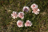 Sea Thrift  (Armeria maritima) - known in Iceland as Geldingahnappur - a  perennial which grows in low-lying clumps, with long stems supporting globes of pink flowers.