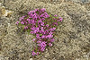 Wild or Arctic Thyme - known as Blóðberg in Iceland - (Thymus praecox arcticus), a member of the mint family, with its flowers used to make tea - it is a creeping plant that grows only about 2 in. (5 cm) tall, and around 30 in. (76 cm) wide - here surrounded by lithophytic fringe moss.