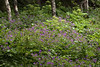 Wood Cranesbill a (Geranium) - amongst the also blooming Angelica and tree truncks of the Birch.