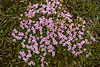 Moss Champion or Cushion Pink (Cerastium alpinum) - known as Lambagras in Iceland - a ground hugging cushion plant, 2-6 in. (5-15 cm) tall, narrow leaves. its bloom displays 5 petals - found on sandy dry, often eroded, soils from the coastal regions to the desert sands of the highlands.