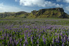 Nootka Lupine (Lupinus nootkatensis), known as Lúpina in Iceland, here upon the Mýrdalssandur glacial outwash plain - beyond to the Hjörleifshöfði (headland), viewing at its northernmost slope and ridge, then along its eastern slopes.