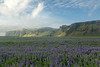 Nootka Lupine (Lupinus nootkatensis), here in the Mýrdalssandur glacial outwash plain - beyond to the sunlight patchs along the Hjörleifshöfði (headland), whose southern peak rises up to around 725 ft. (221 m) - Katla UNESCO Global Geopark - Southern region of Iceland.