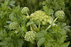 Angelica (Angelica archangelica) - Hvönn in Icelandic - also known as Angel Root or Herb - its roots was a dietary staple for early Vikings, and today it has medicinal properties.