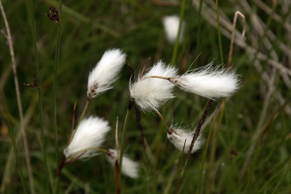 Common Cottonsedge or Klófífa - a creeping rhizomatous perennial sedge, with triagular jointless solid stems, a spiked inflorescence, and long grass-like leaves that protrude from closed sheaths.
