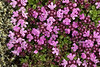 Inflorescence of the Wild/Arctic Thyme or Blóðberg - displaying its 4 petals.