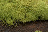 Mountain Thread-moss - the shoots grow to about 1 in. (3 cm) tall, with the upward growing leaves extending to around .08 in. (2 mm) long -<br /> which are distinctively pale glaucous (grayish green, to bluish, or almost white), with reddish stems.