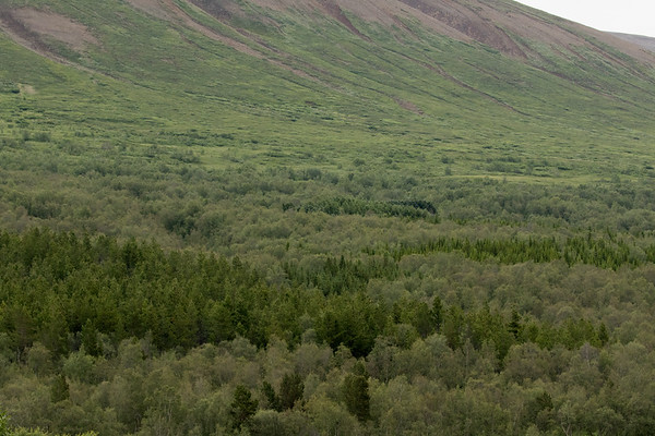 Across the southern end of the Vaglaskógur (forest) - Birch, Larch and Pine trees - above to the lower slope of the Vaglafjall (mountain).