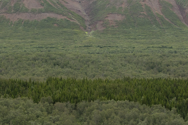 Across the birch, larch, and pine trees of the Vaglaskógur (forest) - here along the Fnjóskadalur (valley) - to the small patch of Mountain Thread-moss growing along the lower slope of the Vaglafjall (mountain) - Northeastern region of Iceland.