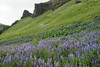 """Nootka Lupine (Lupinus nootkatensis), known as Lúpina in Iceland,  an introduced species to Iceland in the 1940s to help limit soil erosion, and today considered as a """"invasive species"""" by Iceland's Ministry for the Environment - here along the southwestern slope of the Hjörleifshöfði (headland)."""