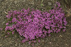 Wild or Arctic Thyme - known as Blóðberg in Iceland - (Thymus praecox arcticus), a member of the mint family, with its flowers used to make tea - it is a creeping plant that grows only about 2 in. (5 cm) tall, and around 30 in. (76 cm) wide.