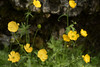 Meadow Buttercup or Brennisóley