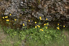 Meadow Buttercup, known as Brennisóley in Iceland - (Ranunculus acris) - with beyond a fallen talus boulder of volcanic rock, pillow basalts fused with palagonite (yellowish/orangish).