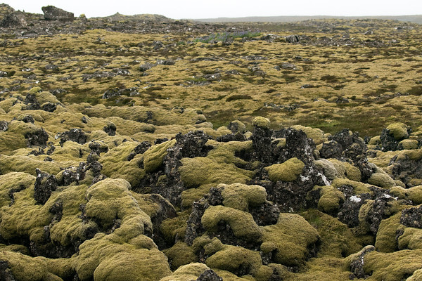">600 species of ""mosses"" live on the island of Iceland (as per the University staff), and they account for more than half of all vegetation cover throughout the islands, and are particularly dominant in areas where there is little soil and growing conditions are unfavourable - moss is common both in lava fields and at higher altitudes, where vascular plant growth is generally sparse - this image upon the Skógfellahraun (lava field), in the Eldvörp-Svartsengi volcanic system, Western Volcanic Zone of Iceland - Southern Peninsula region of Iceland, which is 1 of 8 geographical regions upon the island - late June."