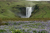 Beyond the Nootka Lupine to the Skógafoss, with its mist rising well above its crest.