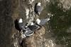 Black-legged Kittiwake - with several young chicks among the brood.