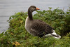 Greylag Goose - along the northern area of the Þingvallavatn (lake).