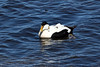 Common Eider - the largest duck in Europe, 2nd largest in Northern Hemisphere, and largest of its other 3 species - male Eiders (as seen here) weigh between 2.6 - 5.7 lbs. (1.2 - 2.6 kg), with females around 1 lb. (.45 kg) less - their length ranges from 21-24 in. (54-62 cm) - they have a destinctive wedge-shaped head and long bill.
