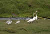 Whooper Swans - in transit along the mountain stream flowing from the western slope of the Króksfjall (mountain) - Central Highlands - Northeastern region of Iceland.