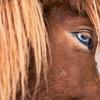 Blue eyed Icelandic horse - Iceland 2016
