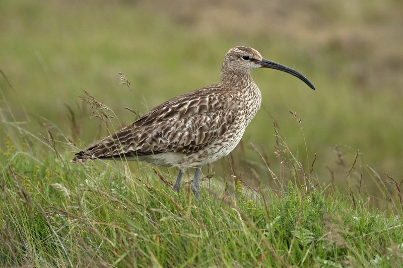 Whimbrel - showing its alternating dark-light striped head pattern, with the rest of its upperpart plumage mottled-brown, and white underparts - their plumage does not vary season to season - their long curved beak is black during the breeding season (northern hemisphere), and pinkish or reddish base during the winter - this specimen during mid July, the far southwestern area of the Southern region of Iceland.