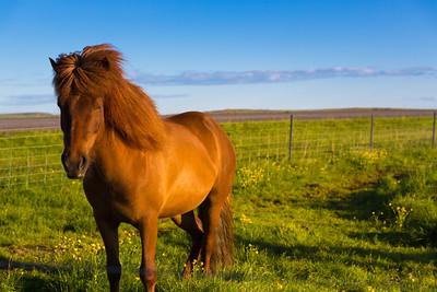 Icelandic Horse | Near Borgarkot, Iceland