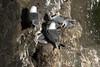 Black-legged Kittiwake (Rissa tridactyla) - with a few chicks on the nest along the coastal cliff at Valahnúkur - Reykjanes Peninsula.