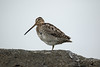Common Snipe (Gallinago gallinago) - known as the Hrossagaukur in Iceland - this specimen at the Hveravellir Natural Monument, a geothermal hot springs, located in the Highlands of the Northwest region.