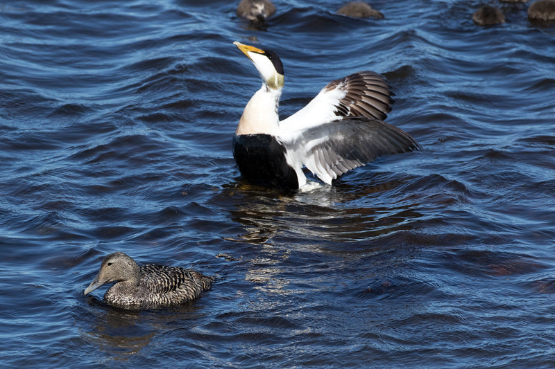 Common Eider (Somateria mollissima) - a sea duck and diving duck (1 of 4 species) found in the circumpolar upper latitude of the Northern Hemisphere - several males may court one female, displaying exaggerated head movements, accompanied by low cooing calls, and also rearing up out of water while flapping his wings - the nest is built upon the ground, usually somewhat sheltered by volcanic rocks or plants, but close to water - they often breed in colonies, even amongst other species - the nest is a shallow depression cloaked with plant material and significant amounts of female breast down.