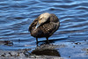 Common Eider - preening female.