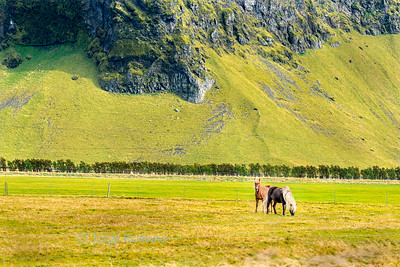 Two gorgeous icelandic horses grazing on a field near a lava hill, Southern Iceland