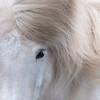 Icelandic horse - Iceland 2016