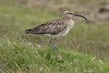 Whimbrel (Numenius phaeopus islandicus) - know locally as Spói - a large wader or shorebird, weighing up to about 1 lb. (450 gm), with a length of around 18 in. (45 cm), and wingspan to around 34 in. (86 cm) - a long down-curved bill, and long gray colored legs - this specimen among the seeding grass stems
