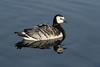 Barnacle Goose - early morning's direct sunlight and near rippleless reflection upon the Jökulsárlón (lake/lagoon).
