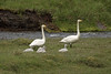 Whooper Swans - with the 4 cygnets - along the stream from the western slope of the Króksfjall (mountain).