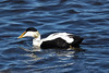 Common Eider -  a sea duck and diving duck (male specimen).