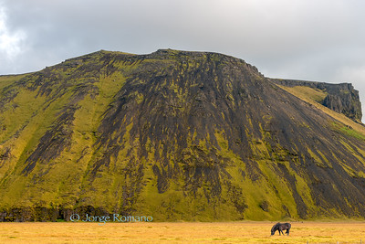 Icelandic black horse grazing in front of volcanic hill, Southern Iceland